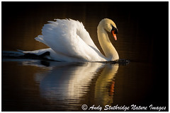 Avalon Gold (www.andystuthridgenatureimages.co.uk) Tags: swan mute golden light water lake river waterway avalonmarshes somerset waterbird shadow winter bird wildlife canon