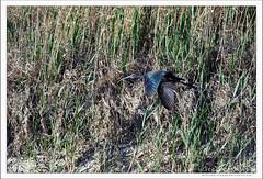 2019-03-13-40331--©-Gerard-MUSSOT (Gerard MUSSOT) Tags: deltedelebre oiseaux faune españa ebro reservenaturele