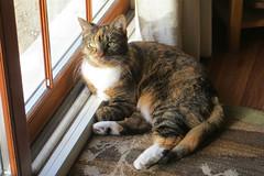 Gracie 26 February 2019 2487Ri 4x6 (edgarandron - Busy!) Tags: gracie patchedtabby cat cats kitty kitties tabby tabbies cute feline