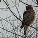 Red-shouldered Hawk (j)