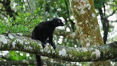 Black Lemur (Eulemur macaco) (Susan Roehl) Tags: madagascar2017 islandofmadagascar offtheeastcoastofafrica palmariumreserve nestofdreams akaninnynofy blacklemur lemuridaefamily endemic brownororangeeyes eartufts livesinmoistforests northwestregion eatsfruit 78ofdiet ripenessvital eatsflowers leaves fungi invertebrates nectar primaryandsecondaryforest activedaynight upperandmiddlecanopy vulnerable sueroehl photographictours naturalexposures panasonic lumixdmcgh4 100400mmlens handheld forest animal tree foliage coth5 coth ngc