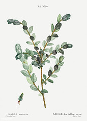 Creeping willow (Salix arenaria) illustration from Traité des A (Free Public Domain Illustrations by rawpixel) Tags: pierre redoute redouté antique arenaria arts artwork beautiful blossom botanical botany creativecommons0 creeping cultivation decoration drawing element engraved environment fineart floral flower graphic historic historical history houseplant illustration ink joseph name nature painting pencil pierrejosephredouté plant publicdomain repens retro salix sketch sketching spring traitédesarbresetarbustes tree tropical vintage willow