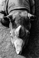 rhino (Markus Trienke) Tags: zoo leipzig sachsen deutschland de animal rhino rhinoceros bw monochrome
