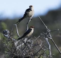 Greater Striped Swallow (Cecropis cucullata)-9797 (Dave Krueper) Tags: africa aves bird birds grss hirundinidae landbird passeriformes passerine southafrica swallow