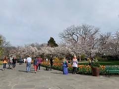 Cherry trees (pianoforte) Tags: dallas arboretum dallastx dallasarboretumandbotanicalgarden flowers dallasblooms spring 2019 spring2019
