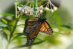 THE HAPPY BUTTERFLY! (Uhlenhorst) Tags: 2015 australia australien animals tiere travel reisen coth coth5
