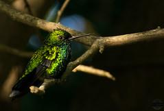 Guardian of the Galaxy (vliege) Tags: colibri curacao dutch caribbean nature nikon nikond3300 photography