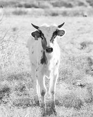 Sammy portrait (KClarkPhotography) Tags: longhorn texas backroads rural route south dhanis cattle cows ranch land young calf black white