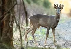 Deer- Acklington (1Blackwatch) Tags: animals deer woods northumberland morpeth wild nikon d810 200500 acklington