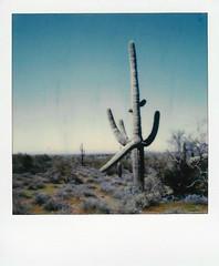 downward facing saguaro (EllenJo) Tags: instantfilm polaroidoriginals theimpossibleproject impossibleproject instant arizona az march 2019 ellenjo sx70 polaroid daytriptoapachetrail apachetrail sonorandesert apachejunction lostdutchmanstatepark arizonastateparks saguaro