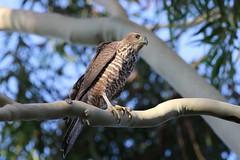brown goshawk (Accipiter fasciatus) (johnedmond) Tags: perth westernaustralia hamerpark bird birdofprey raptor nature wildlife canon eos7d 100400mm ef100400mmf4556lisiiusm 7dmkii browngoshawk
