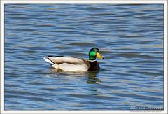 2019-03-13-40220--©-Gerard-MUSSOT (Gerard MUSSOT) Tags: deltedelebre oiseaux faune españa ebro reservenaturele