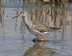 F_031719d (Eric C. Reuter) Tags: birds birding nature widlife nj forsythe nwr march 2019 refuge 031719