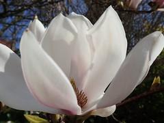 Magnolia flowering (Landanna) Tags: magnolia flower bloem blomst lentekriebels lente spring springindenmark forår