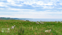 Flock of sheep on a meadow by the sea (WDnet) Tags: sheep sea landscape meadow nature grass green coast skane countryside sky europe water animal field grazing lamb view rural farm blue flock coastline summer shore sweden scenery new outdoor ocean farming pasture north agriculture clouds hill baltic scene scenic bay background d5300 gnc