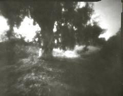Riverbank tree (Daphnesalbums) Tags: zeroimage4x5pinholecamera zone plate directpositive4x5paper caffenol