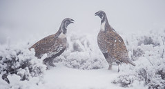 GROUSE IN MIST (WilsonAxpe) Tags: grouse colorado fog mist snow winter wildlife