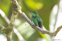 White-tailed Emerald_28A8340 (Gmo_CR) Tags: elvirachionura whitetailedemerald esmeraldacoliblanca costarica endemic endemica aves birds bosquedeltolomuco macho male
