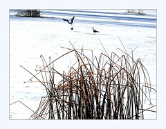 gulls on ice (overthemoon) Tags: switzerland suisse schweiz svizzera romandie vaud lausanne sauvabelin lake reeds gulls icy frozen cold highkey frame utata:project=cold white shadows explore 264