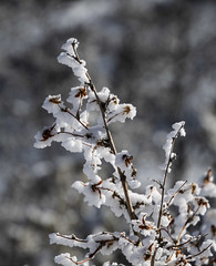 Frosty Bush (noname_clark) Tags: rockymountainnationalpark outdoor hike snow lillymountain plant macro ice