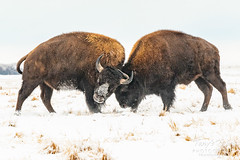 January 12, 2019 - Bison bulls spar in the snow. (Tony's takes)