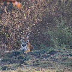 Magnificient beast (Nagarjun) Tags: nagarholenationalreserve riverkabini tiger tigress bigcat animal wildlife safari