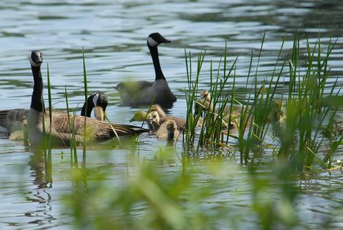 Cobbossee Lake geese - J Petroulis
