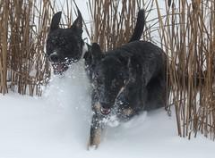 Digby & Malcom (jadavid) Tags: thiefriverfalls minnesota thiefriverfallsmn snow dog doginthesnow pitbull rescue rescuedog dogs outdoors outside