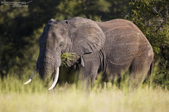 African Elephant - Kruger National Park (BenSMontgomery) Tags: african elephant kruger national park satara s100 nwanedzi central plains savannah south africa wildlife safari lilac breasted bird insect perch tusk