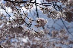 IMGP4425 (kirinoa) Tags: 神奈川県 横浜市 日ノ出町 黄金町 大岡川 桜