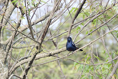 Indian Robin Male (santm) Tags: birds nikon200500mm d500 bird animal karnataka india