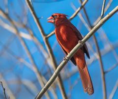 Cardinal (festivaburn) Tags: cardinal bird songbird north carolina april pamlico county