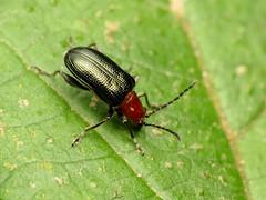 Say's Shining Leaf Beetle (treegrow) Tags: rockcreekpark washingtondc nature lifeonearth raynoxdcr250 arthropoda insect beetle coleoptera chrysomelidae oulemasayi