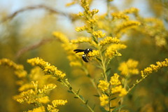 Beautiful goldenrod and wasp