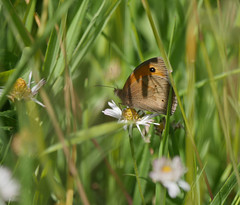 Meadow brown (yvonnepay615) Tags: panasonic lumix gh4 nature butterfly meadowbrown holkham norfolk eastanglia uk