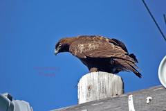 Red-taild Hawk 105 (ahmed_eldaly) Tags: sandiego california usa nature birds birding wildlif photography egyptianphotographer