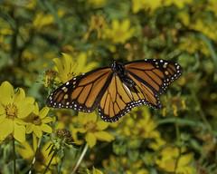 MonarchButterfly_SAF7648 (sara97) Tags: danausplexippus butterfly copyright©2018saraannefinke endangered insect missouri monarch monarchbutterfly nature photobysaraannefinke pollinator saintlouis inflight