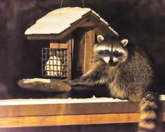 Midnight Snack (ausmc_1) Tags: night portalberni wildlife backyard midnight raccoons 2019 canada february britishcolumbia tamronsp70200mmf28divcusda009n vancouverisland d800