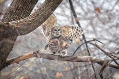Love is in the Air... (DTT67) Tags: barredowls wildife nature canon 1dxmkii 500mmii winter snowfall raptor bird mating owls