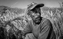 Haunted fields (Frank Busch) Tags: frankbusch frankbuschphotography imagebyfrankbusch photobyfrankbusch asia bw blackwhite blackandwhite corn field harvest man monochrome nepal travel travelphotography worker wwwfrankbuschname