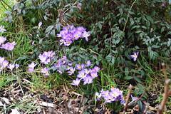 DSC_2524 Crocus (PeaTJay) Tags: nikond750 sigma reading lowerearley berkshire macro micro closeups gardens outdoors nature flora fauna plants flowers crocus