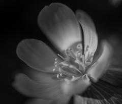 Eranthis hyemalis, BW (vogl_claus) Tags: eranthishyemalis flower bw spring