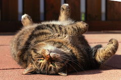 Spring is in the air (FocusPocus Photography) Tags: cleo katze cat chat gato tabby tier animal haustier pet faul lazy