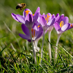 Lunch time (herman hengelo) Tags: crocus bee lunchtime hengelo thenetherlands