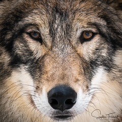 Chenoa: ces yeux-là...  - Wolf  (EXPLORE) (www.sophiethibault.ca) Tags: canada chenoa québec refuge refugenymous stebéatrix animaux louve février 2019 wolf animal wildlife