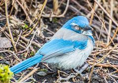 Missing One. (Omygodtom) Tags: handycap wildlife bird scrubjay natural nature nikon dof d7100 nikon70300mmvrlens blue eye existinglight