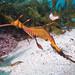 The last few eggs Phyllopteryx taeniolatus Weedy seadragon