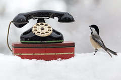 Cold Calls (dshoning) Tags: phone chickadee winter red black iowa whimsy