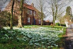 Snowdrops (robin denton) Tags: springtime burtonagnes yorkshire snowdrops wildflowers englishvillage village photomatix hdr