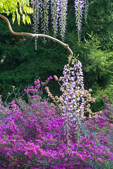 4377Spring10 (Robin Constable Hanson) Tags: japanese azaleas flowers gardens green landscapes pink purple vertical wisteria